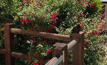 Blackbird taking the sun outside the Golden Buddha Centre, Totnes